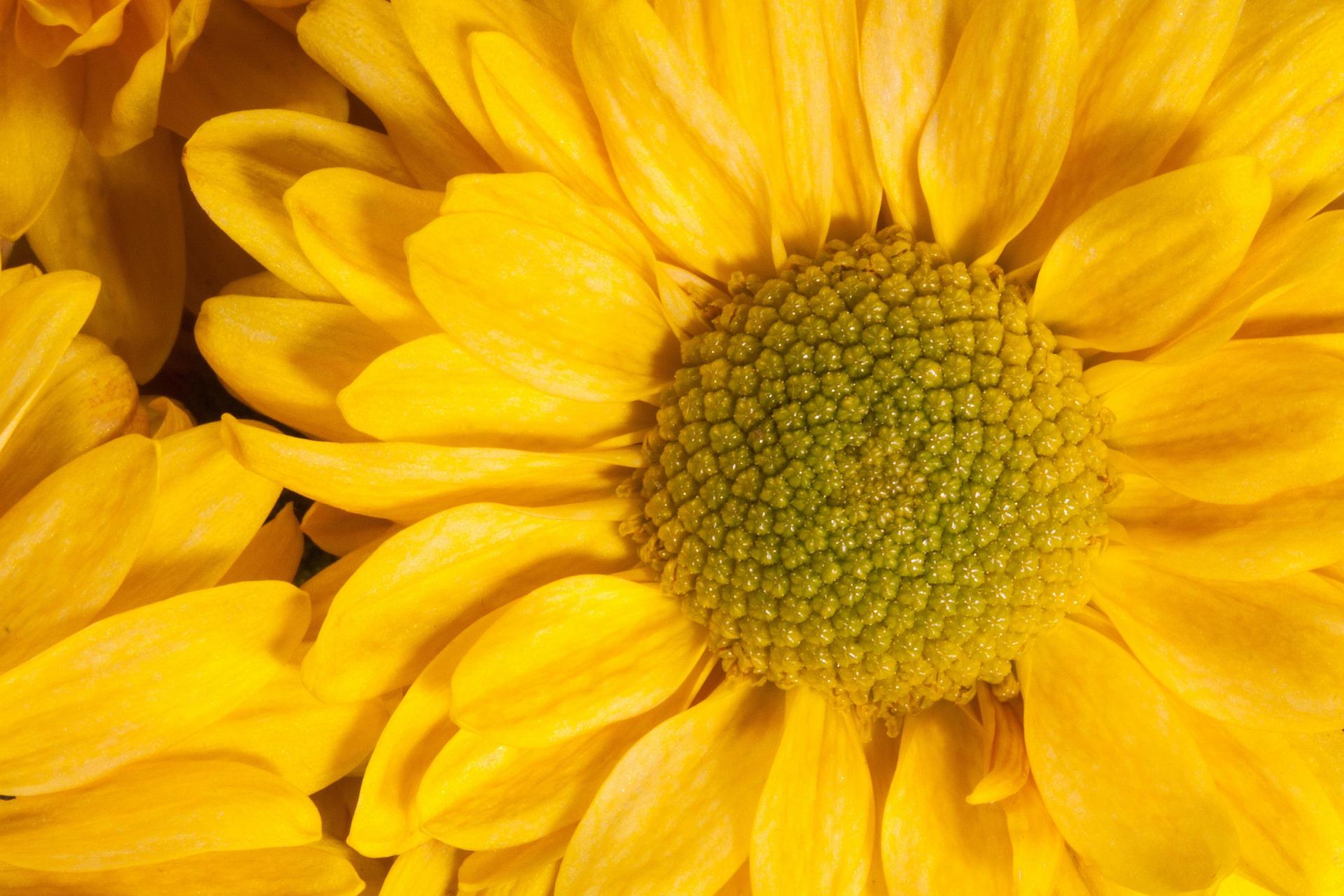 garden-chrysanthemum-201493_1920