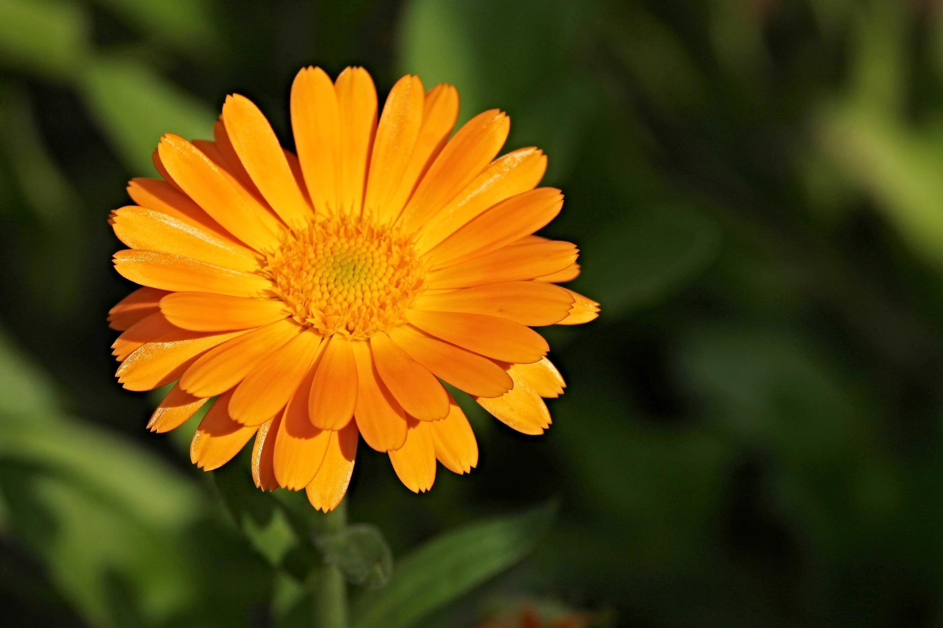 marigold-2666877_1920