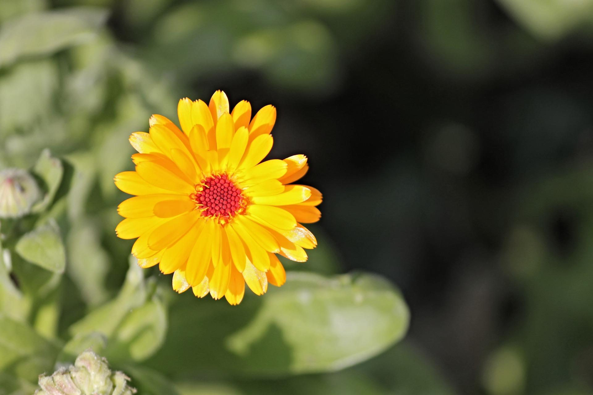 marigold-2783378_1920